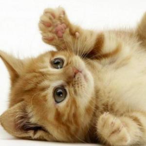 gatto allergia
